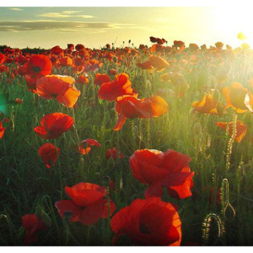 Should we feel obliged to wear a red poppy?